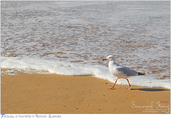 Silver Gull walking along the beach in the afternoon