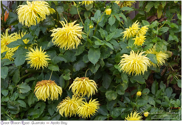 Fimbriated Dahlia flower in pure yellow
