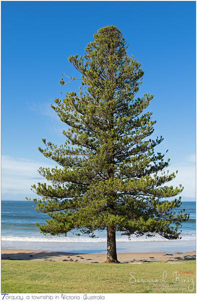 Norfolk Island pine tree growing on the seashore at Torquay surf beach, Victoria, Australia
