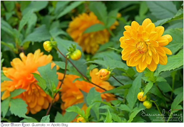 Dahlia flowers in golden yellow color