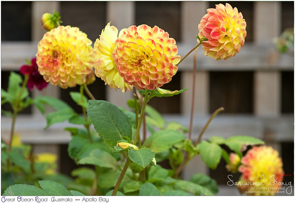 Pompom Dahlia flowers in yellow color marked with peach edge