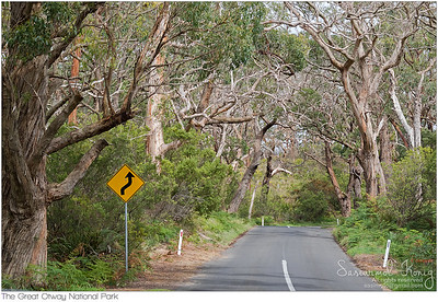 Road trip thought many big gum trees, Otway National Park in Australia