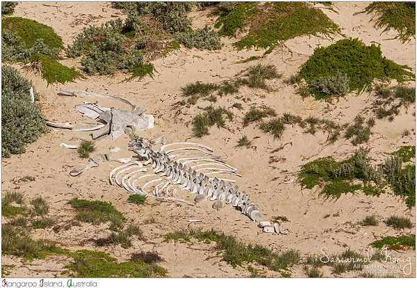 Huge white whale skeleton bones at Seal Bay