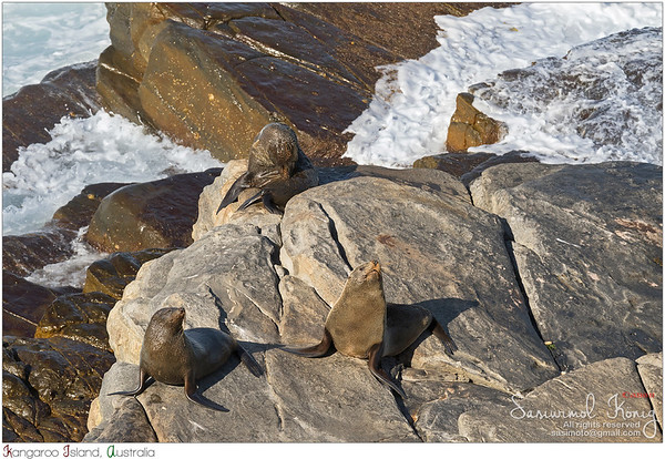 New Zealand fur seals sunbathing on Colony rocks