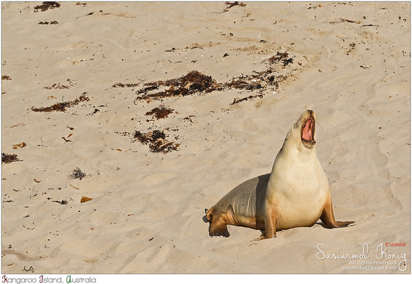 Sleepy moment for Australian Sea Lion