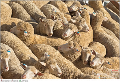 We travelled by a ship with a flock of sheep.
