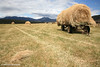 Hay Carting, North East Tasmania