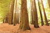 Californian Redwoods, Otways National Park, Victoria, Australia