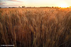 Golden Flakes of Wheat, Victoria