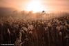 Dawn over rushes, Kosciusko Nat. Park, NSW