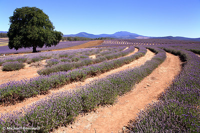 The Lavendar Farm, Tasmania