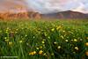 Wild Flowers, Fox Glacier Valley, South Island, New Zealand