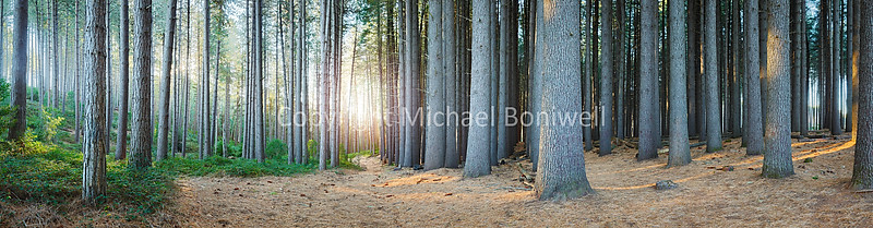 "Sugar Pines, Laurel Hill, New South Wales, Australia. Can be printed several metres wide. <a href=""mailto:michael.boniwell@gmail.com"">Email</a> to order a print or commercial use license."