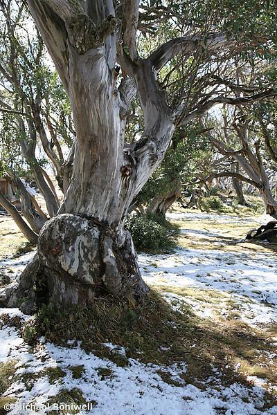 Snow Gum, Falls Creek, Victoria
