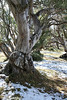 Snow Gum, Falls Creek, Victoria