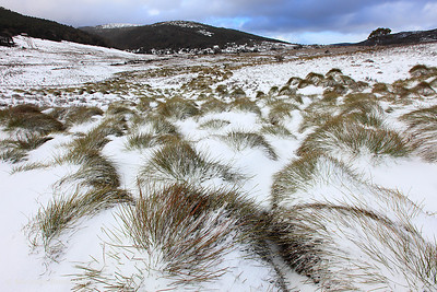 Grass Tussocks, Cradle Mountain National Park, Tasmania, Australia