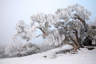 Snowbound Snowgum, Mt Feathertop, Victoria