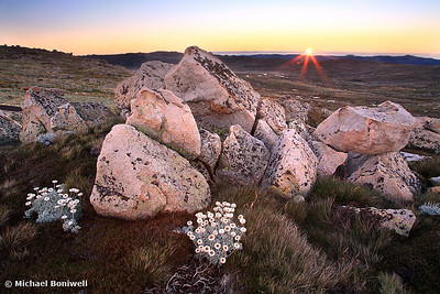 Mt Kosciusko Silver Snow Daises at Dawn