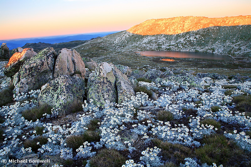 Mt Kosciusko Silver Snow Daises huddle as Dawn Light crests the summit peak