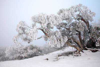 Snowbound Snowgum, Mt Feathertop, Victoria.