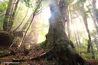 Enchanted Forest, Frenchmans Cap, Franklin-Gordon Wild Rivers National Park, Tasmania