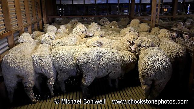 Shearing at Tooborac, Victoria, Australia