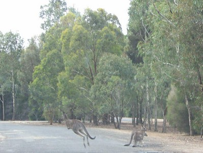 Grey Kangaroos at Serendip