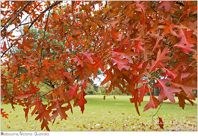 Oak trees in the park turning leaves into Autumn red shade