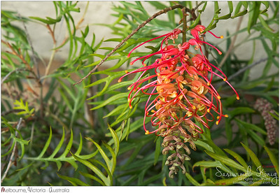 Grevillea 'Superb' flower. Harmonious blend of orange, red, and yellow shades