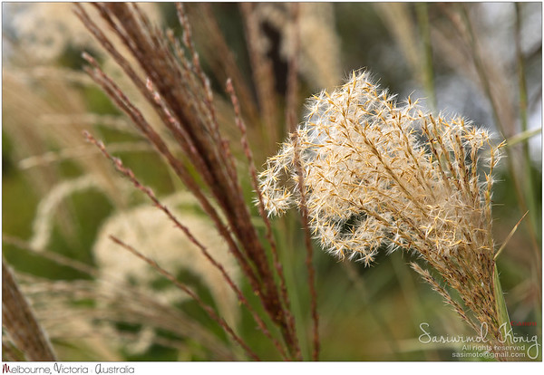 Flower heads of ornamental grass, Miscanthus sinensis @ Royal Botanical Gardens, Melbourne, Australia