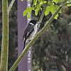 Gray Butcherbird