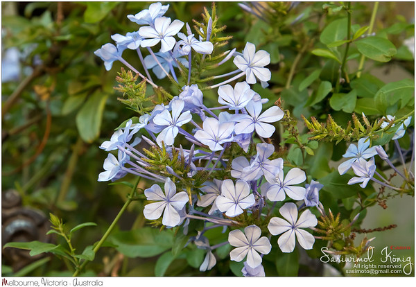 Plumbago auriculata flowers in light blue purple shade