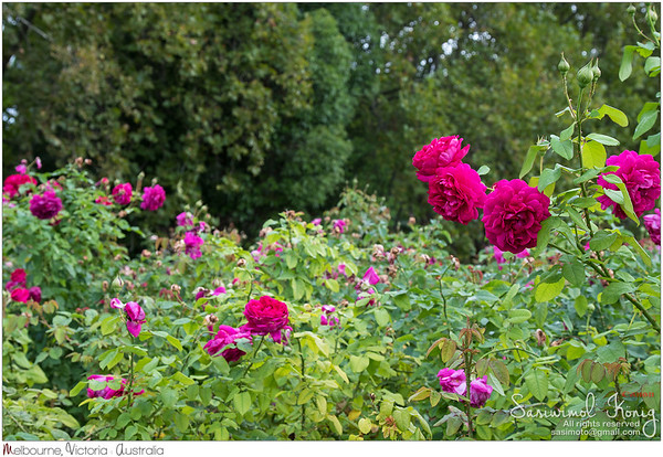 Beautiful roses in purple red shade, magenta color, in the garden in Australia