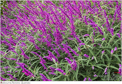 Mexican bush sage flowers (Salvia leucantha) in purple shade in the garden