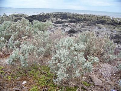 plants along the shore, Western Treatment Plant, Werribee