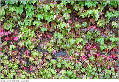 Ivy leaves climbing on the brick wall turning leaves from green to Autumn red shade
