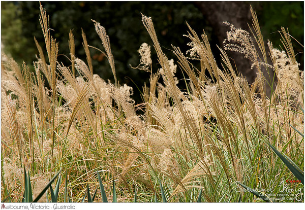 Flower heads of ornamental grass, Miscanthus sinensis