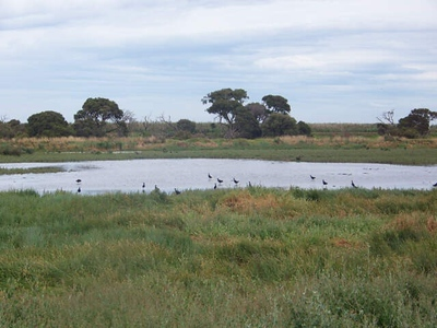 Purple Swamphens, Western Treatment Plant, Werribee