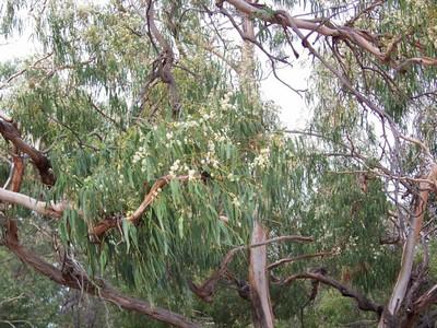flowering tree, You Yangs Regional Park