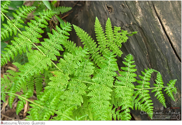 Downy ground fern