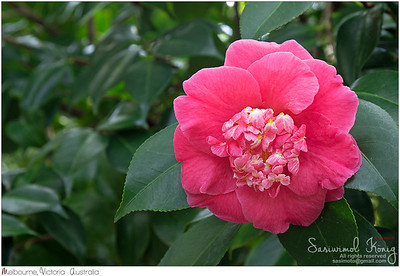 Camellia japonica in pink shade
