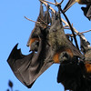 Grey-headed Flying Fox (Pteropus poliocephalus)