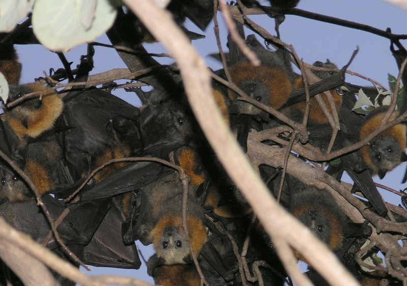 Grey-Headed Flying Foxes at dusk
