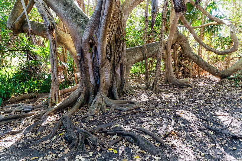 Moreton Bay Fig on Treachery Headland