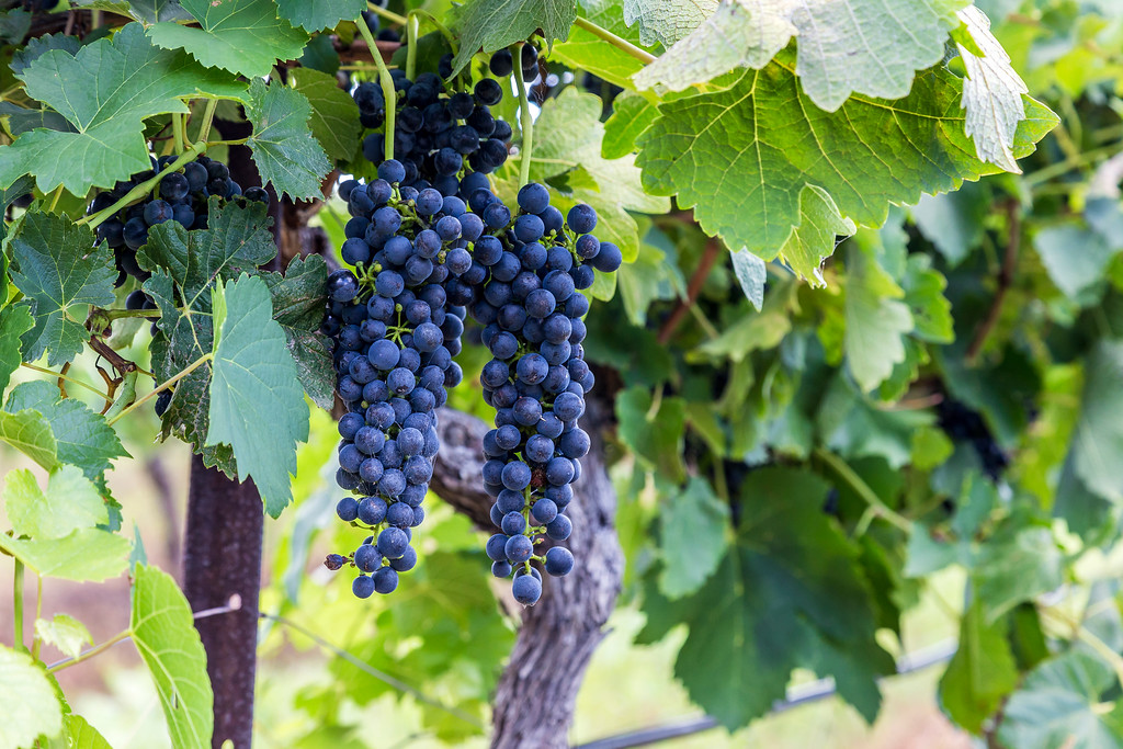 Hunter Valley Shiraz Grapes