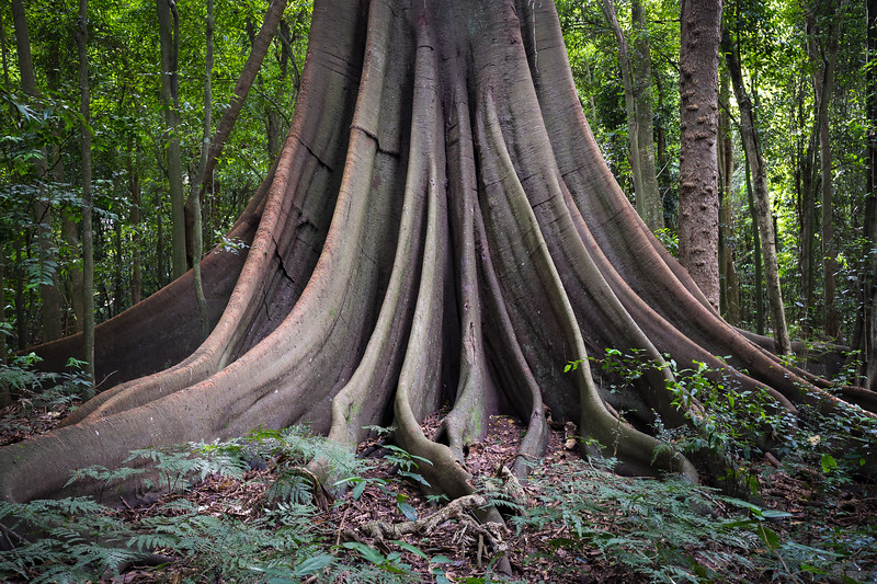 A Large Morteton Bay Fig in the Wingham Brush Nature Reserve