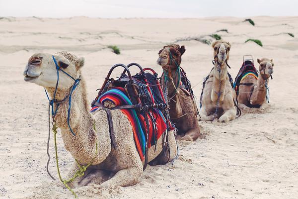 Stockton Beach Camels