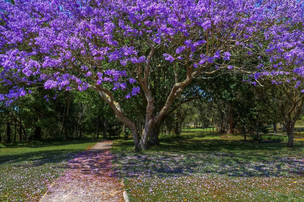The Purple Tree (Jacaranda), Port Stephens