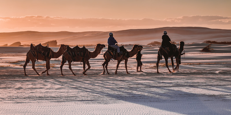 A sunset camel trek  in the vast Port Stephens sand dunes