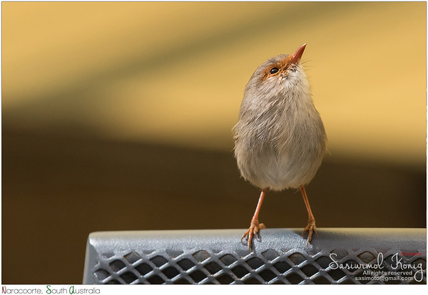 Cute little Superb Fairy-wren.. this tiny bird is such a darling